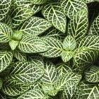Cómo cuidar plantas de la especie calathea