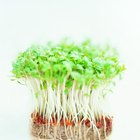 How to grow cress in a paper towel