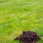 Why do I have mounds of soil appearing in my lawn?