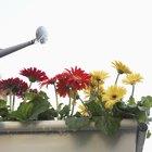 How often do gerbera daisies bloom?