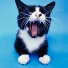 Excessive Yawning in Cats
