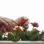 Manipulación y cuidado de la flor Gerbera