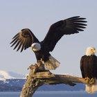Diferenças entre águias-de-cabeça-branca macho e fêmea