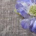 Care of scabious (butterfly) plant