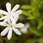 The common jasmine produces small white blooms that release a strong fragrance.