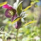 How to prune Helleborus winter roses