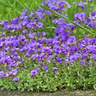 How to plant Aubretia