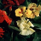 Nasturtium blooms are also edible and used in salads.