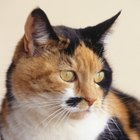 Is a Calico a Type of Cat?