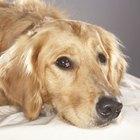 Clindamicina para perros