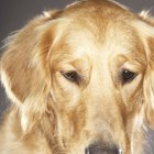 Degenerative Myelopathy in Golden Retriever Dogs