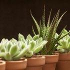 Plagas de plantas suculentas