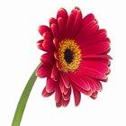 ¿Puedes volver a plantar una flor cortada?
