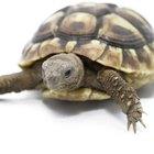 ¿Cómo se aparean las tortugas?