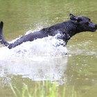 As dez melhores raças de cães caçadores de patos
