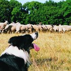 Restlessness in a Border Collie