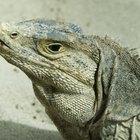 Qué comen las iguanas del desierto