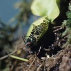 Venus flytraps can take one week or longer to digest their prey.