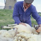 Como afiar uma tosquiadeira elétrica de ovelhas