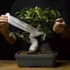 Cómo hacer un bonsái de una planta de jade