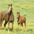 O que são traços heterozigotos e homozigotos em cavalos?