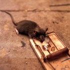 Como matar ratos de esgoto