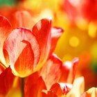 How to care for tulips after bloom