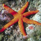 How to dry out starfish found on beaches