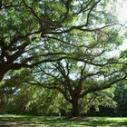 Oak trees spread into several large branches instead of a single leader.