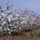 Como o algodão é colhido e transformado em tecido?