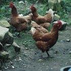 Sarna em galinhas