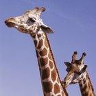 Mitos e lendas da girafa