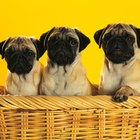 Os 10 filhotes de cachorro mais adoráveis