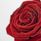 ¿Qué causa que los capullos de rosa se pongan marrones antes de abrirse en el rosal?