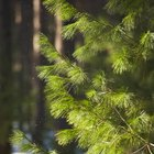 How to determine if your pine tree is dying