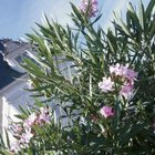 Oleander flowers are white, pink, red or yellow.