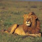 Cómo hacer que un Leo se sienta más atraído hacia ti