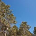 O ciclo de vida dos pinheiros