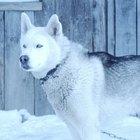 ¿Cuál es la diferencia entre el alaska malamut y husky siberiano?