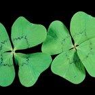 Como cuidar de um trevo de quatro folhas