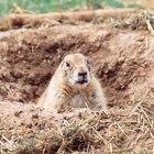Tipos de animais escavadores