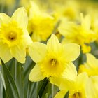 What Can Eat Narcissus Flowers?