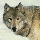 What Dogs Look Like Wolves?