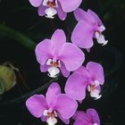 Adaptations of orchids