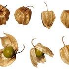 How to Grow Cape Gooseberries