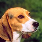 Normal Beagle Height & Weight