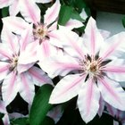 How to Identify a Clematis