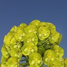 How to Care for Euphorbia Plants
