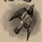 Como fazer o truque de magia do pássaro