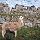 Animales que vivieron durante la época inca
